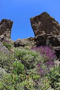 Canaries endemics Mountain scabious (Pterocephalus dumetorum) and Canary island sage (Salvia canariensis) flowering below El Rana and Roque Nublo, volcanic basaltic monoliths on the Tablon Nublo plate...  -  Nick Upton