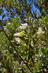 Tree lucerne / Tagasaste (Cytisus proliferus), a Canaries endemic, flowering within a UNESCO Biosphere Reserve, near Tejeda, Gran Canaria, May.  -  Nick Upton