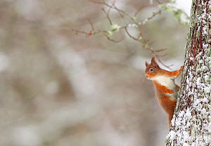 Red Squirrel (sciurus vulgaris) in winter hanging from trunk of Oak tree, Cairngorms National Park, Highlands, Scotland, UK, January. - SCOTLAND: The Big Picture