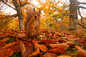 Red Squirrel (Sciurus vulgaris) in leaf litter in autumnal woodland, Highlands, Cairngorms National Park, Scotland, UK, October 2015. - SCOTLAND: The Big Picture