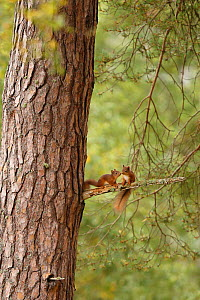 Two young Red squirrels (Sciurus vulgaris) near drey, Cairngorms National Park, Highlands, Scotland, UK, September 2015.  -  SCOTLAND: The Big Picture