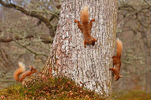 Red squirrels (Sciurus vulgaris) three chasing each other round oak tree, Cairngorms National Park, Highlands, Scotland, UK, April. - SCOTLAND: The Big Picture