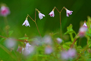 Twinflower (Linnaea borealis) in pine woodland, Cairngorms National Park, Highlands, Scotland, UK, June.  -  SCOTLAND: The Big Picture