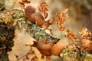 Red squirrels (Sciurus vulgaris) interacting, Cairngorms National Park, Highlands, Scotland, UK, January. - SCOTLAND: The Big Picture