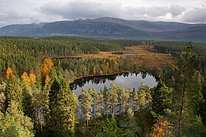 View over Uath Lochans surrounded by pine forest looking towards the Cairngorm mountains, Highlands,  Scotland, UK, October. - SCOTLAND: The Big Picture