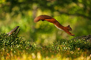 Red Squirrel (Sciurus vulgaris) leaping between tree stumps, Cairngorms National Park, Highlands, Scotland, UK. Sequence 3 of 3. - SCOTLAND: The Big Picture
