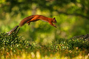Red Squirrel (Sciurus vulgaris) leaping between tree stumps, Cairngorms National Park, Highlands, Scotland, UK. Sequence 2 of 3. - SCOTLAND: The Big Picture