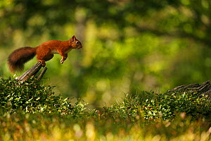Red Squirrel (Sciurus vulgaris) leaping between tree stumps, Cairngorms National Park, Highlands, Scotland, UK. Sequence 1 of 3. - SCOTLAND: The Big Picture