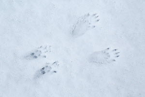 Red Squirrel (Sciurus vulgaris) foot prints in snow, Cairngorms National Park, Highlands, Scotland, UK, January. - SCOTLAND: The Big Picture