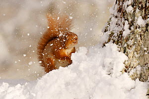 Red squirrel (Sciurus vulgaris) hit by falling snow, Cairngorms National Park, Highlands, Scotland, UK, March. - SCOTLAND: The Big Picture