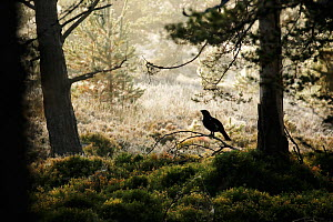 Capercaillie (Tetrao urogallus) male silhouetted against misty frosty pine forest. Cairngorms National Park, Highlands, Scotland, October 2015. - SCOTLAND: The Big Picture
