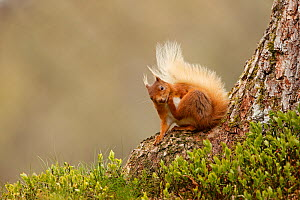 Red Squirrel (Sciurus vulgaris) scratching,  Cairngorms National Park, Highlands, Scotland, UK, May.  -  SCOTLAND: The Big Picture