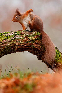 Red Squirrel (Sciurus vulgaris) scratching,  Cairngorms National Park, Highlands, Scotland, UK, December. - SCOTLAND: The Big Picture