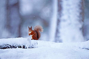 Red squirrel (Sciurus vulgaris) in old pine forest habitat in winter snow fall, Cairngorms National Park, Scotland, UK, January. - SCOTLAND: The Big Picture
