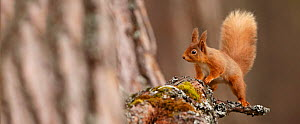 Red Squirrel (Sciurus vulgaris) in mature pine forest habitat,  Cairngorms National Park, Highlands, Scotland, UK, April. - SCOTLAND: The Big Picture