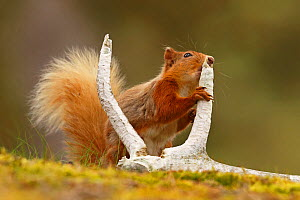 Red squirrel (Sciurus vulgaris) gnawing red deer antler for minerals, Cairngorms National Park, Highlands, Scotland, UK, June. - SCOTLAND: The Big Picture