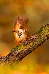 Red Squirrel (Sciurus vulgaris) tossing away the husk from hazelnut, Cairngorms National Park, Highlands, Scotland, UK, November. - SCOTLAND: The Big Picture