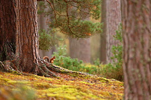 Red squirrel (Sciurus vulgaris) in mature pine forest habitat, Cairngorms National Park, Highlands, Scotland, UK - SCOTLAND: The Big Picture