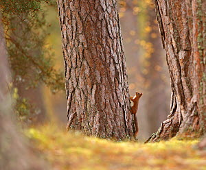 Red squirrel (Sciurus vulgaris) in mature pine forest habitat, Cairngorms National Park, Highlands, Scotland, UK, October. - SCOTLAND: The Big Picture