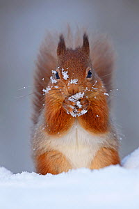 Red squirrel (sciurus vulgaris) feeding in snow, Cairngorms National Park, Highlands, Scotland, UK - SCOTLAND: The Big Picture