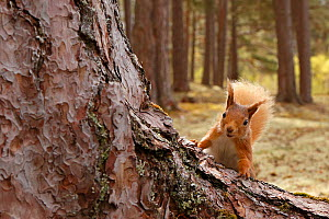 Red squirrel (Sciurus vulgaris) in Scots pine forest, Cairngorms National Park, Highlands, Scotland, UK - SCOTLAND: The Big Picture