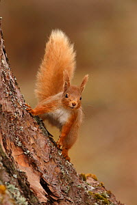 Red squirrel (Sciurus vulgaris) in Scots pine forest, Cairngorms National Park, Highlands, Scotland, UK, April.  -  SCOTLAND: The Big Picture
