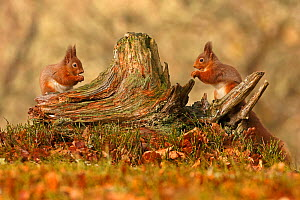 Red squirrels (Sciurus vulgaris) feeding next to each other on old tree stump, Cairngorms National Park, Highlands, Scotland, UK, February. - SCOTLAND: The Big Picture