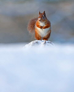 Red Squirrel (Sciurus vulgaris) in winter, Cairngorms National Park, Highlands, Scotland, UK, December. - SCOTLAND: The Big Picture