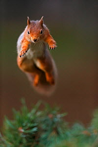 Red Squirrel (Sciurus vulgaris) in mid leap, the Cairngorms National Park, Highlands, Scotland, UK, November. - SCOTLAND: The Big Picture