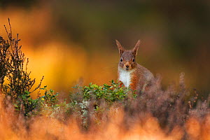 Red Squirrel (Sciurus vulgaris) foraging amongst heather as first light hits forest floor, Cairngorms National Park, Highlands, Scotland, UK, March. - SCOTLAND: The Big Picture