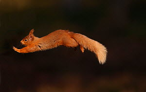 Red squirrel (Sciurus vulgaris) leaping between pine trees in forest in late afternoon light, Cairngorms National Park, Highlands, Scotland, UK, April. - SCOTLAND: The Big Picture