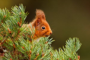 Red Squirrel (sciurus vulgaris) foraging in pine tree, Cairngorms National Park, Highlands, Scotland, UK, February, - SCOTLAND: The Big Picture