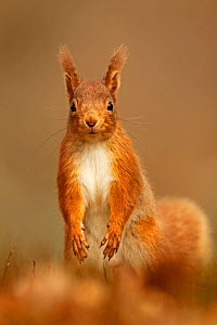 Red Squirrel (Sciurus vulgaris) standing upright in alert pose. Cairngorms National Park, Scotland, UK, March. - SCOTLAND: The Big Picture