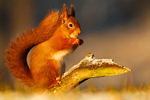 Red squirrel (Sciurus vulgaris) in winter in early morning light. Cairngorms National Park, Highlands, Scotland, UK - SCOTLAND: The Big Picture