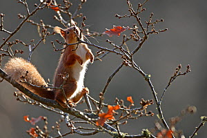 Red Squirrel (Sciurus vulgaris) nibbling on oak buds, Cairngorms National Park, Highlands, Scotland, UK, January. - SCOTLAND: The Big Picture