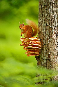 Red squirrel (Sciurus vulgaris) sitting on Chicken of the Woods fungus (Laetiporus), Cairngorms National Park, Highlands, Scotland, UK, June.  -  SCOTLAND: The Big Picture