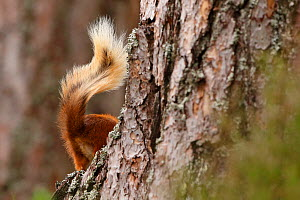 Red Squirrel (Sciurus vulgaris) disappearing behind tree,  tail visible, Cairngorms National Park, Highlands, Scotland, UK, August.  -  SCOTLAND: The Big Picture