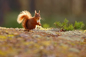 Red Squirrel (sciurus vulgaris) on lichen covered forest floor, Cairngorms National Park, Highlands, Scotland, UK, March. - SCOTLAND: The Big Picture