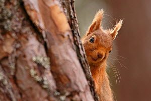 Red squirrel (Sciurus vulgaris) peering round pine tree, Cairngorms National Park, Highlands, Scotland, UK, April. - SCOTLAND: The Big Picture