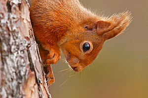 Red squirrel (Sciurus vulgaris) close-up climbing down tree, Cairngorms National Park, Highlands, Scotland, UK, April. - SCOTLAND: The Big Picture