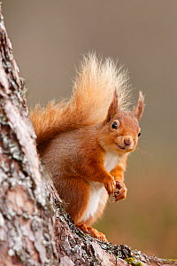 Red squirrel (Sciurus vulgaris) portrait,  Highlands, Scotland, UK, April. - SCOTLAND: The Big Picture