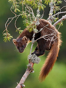 Pine marten (Martes martes) on branch of Scots pine tree. Perthshire, Highlands, Scotland, UK, May. - SCOTLAND: The Big Picture