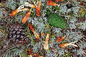 Scots pine (Pinus sylvestris) tree cones on forest floor, along with remains of cone chewed by Red Squirrel (Sciurus vulgaris) Highlands, Scotland, UK, August. - SCOTLAND: The Big Picture