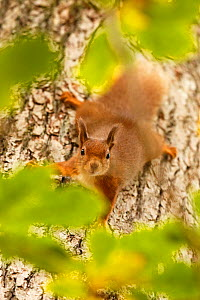 Red squirrel (Sciurus vulgaris) descending trunk of Oak tree, Cairngorms National Park, Highlands, Scotland, UK, October 2015. - SCOTLAND: The Big Picture