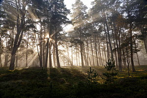Scots Pine forest (Pinus sylvestris) with early morning misty light filtering through the forest. Cairngorm National Park, Highlands, Scotland, UK, October 2014.  -  SCOTLAND: The Big Picture