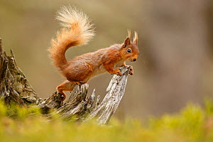 Red Squirrel (Sciurus vulgaris) on gnarled tree stump. Cairngorms National Park, Highlands, Scotland, UK, May. - SCOTLAND: The Big Picture