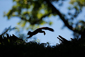 Silhouetted Red Squirrel (Sciurus vulgaris) jumping between tree stumps. Cairngorms National Park, Highlands, Scotland, UK, August. - SCOTLAND: The Big Picture
