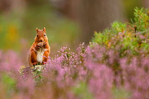 Red squirrel (Sciurus vulgaris) feeding on pine cone in purple heather covered pine forest. Cairngorms National Park, Highlands, Scotland, UK, September 2015.  -  SCOTLAND: The Big Picture