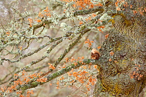 Red squirrel (Sciurus vulgaris) sitting on an old giant gnarled Oak tree. Highlands, Scotland, UK, January. Highly Commended in the Habitat Category of the British Wildlife Photography Awards (BWPA) C...  -  SCOTLAND: The Big Picture