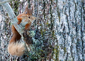 Red squirrel (Sciurus vulgaris) with stripped bark for bedding material for drey. Cairngorms National Park, Highlands, Scotland, UK, March. - SCOTLAND: The Big Picture